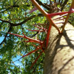 Gleditsia triacanthos - Lederhülsenbaum