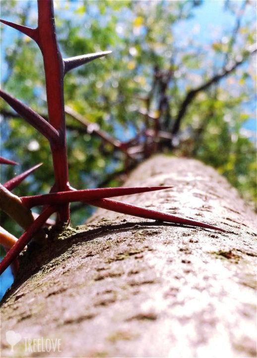 Dornen eines Lederhülsenbaums