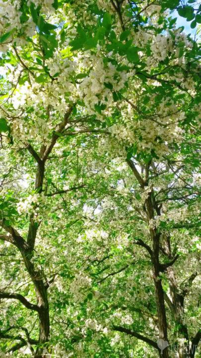 blühende Akazien als Stadtbaum