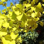 Gingko biloba im Herbst