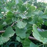 Ginkgolaub nach einem Regenschauer