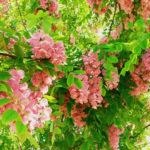 robinia-casque-rouge